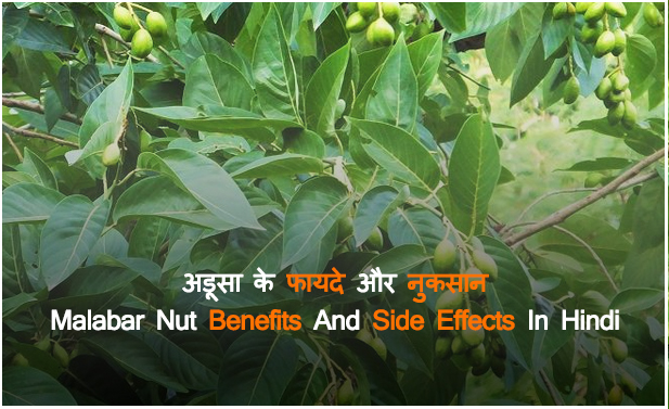 अडूसा के फायदे और नुकसान - Vasaka (Malabar Nut) Benefits and Side Effects in Hindi