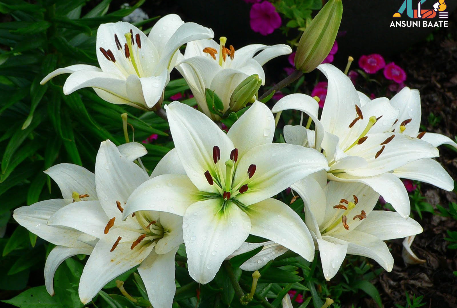 लिलि फ्लावर फोटो वॉलपेपर इमेज फ्री एचडी डाउनलोड Lily Flowers Images & Lily Picture HD Photo Gallery Free Download