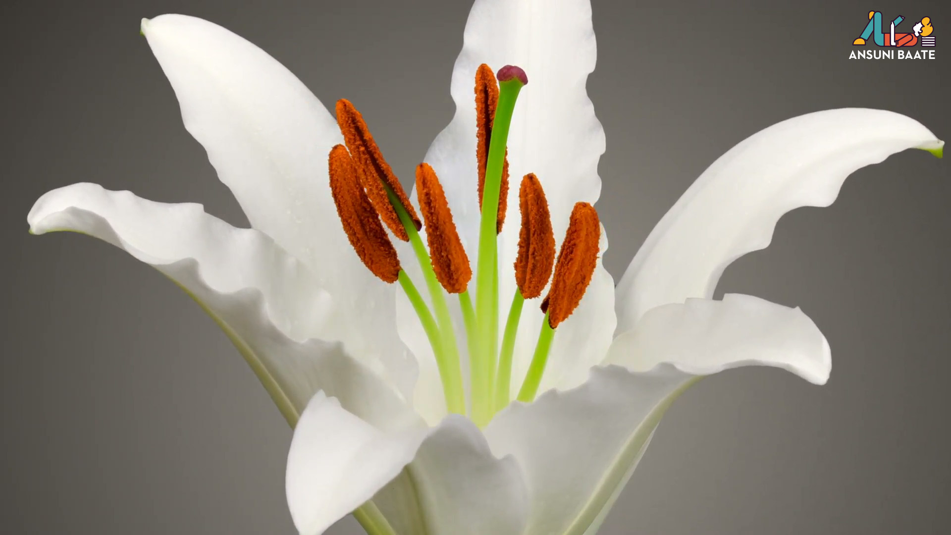 Lily Flowers Images & Lily Picture HD Photo Gallery Free