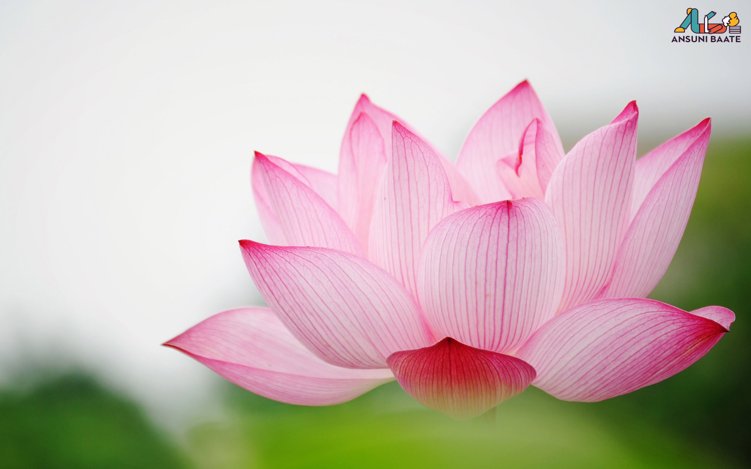 lotus flowers for sale - HD 2560×1600